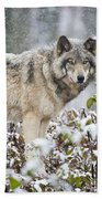 Timber Wolf Pictures 1397 Beach Towel