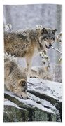 Timber Wolf Pictures 1420 Beach Towel