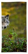 Timber Wolf Pictures 1627 Beach Towel