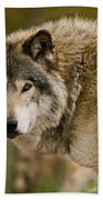 Timber Wolf Pictures 1629 Beach Towel
