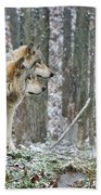 Timber Wolf Pictures 184 Beach Towel