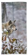 Timber Wolf Pictures 186 Beach Towel
