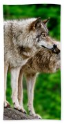 Timber Wolf Pictures 191 Beach Towel