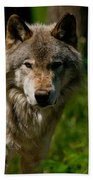 Timber Wolf Pictures 266 Beach Towel