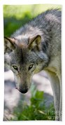 Timber Wolf Pictures 294 Beach Towel