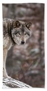 Timber Wolf Pictures 498 Beach Towel