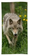 Timber Wolf Pictures 59 Beach Towel