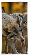 Timber Wolf Pictures 62 Beach Towel