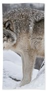 Timber Wolf Pictures 683 Beach Towel