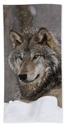 Timber Wolf Pictures 74 Beach Towel