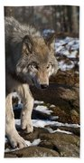 Timber Wolf Pictures 969 Beach Towel