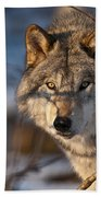 Timber Wolf Pictures 981 Beach Towel