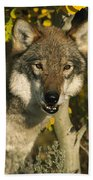 Timber Wolf Teton Valley Idaho Beach Towel