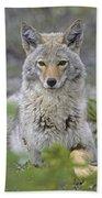 Tk0607, Thomas Kitchin Coyote In Spring Beach Towel