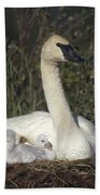 Trumpeter Swan On Nest With Chicks Beach Towel