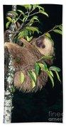 Two-toed Sloth Choloepus Didactylus Beach Towel