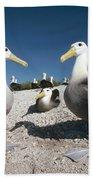 Waved Albatrossed On Nesting Grounds Beach Towel