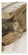 Weimaraner Asleep With Cat Beach Towel