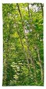 White Birch Along Rivier Du Nord Trail In The Laurentians-qc Beach Towel