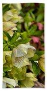 White/pink Lenten Roses Beach Towel