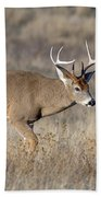Whitetail Buck On The Move Beach Towel