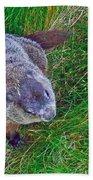 Woodchuck In Salmonier Nature Park-nl Beach Towel