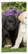 Yellow And Black Labrador Puppies Beach Towel