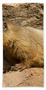 Yellow Bellied Marmot Checking Out The Neighborhood In Rocky Mountain National Park Beach Towel