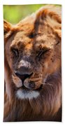 Young Adult Male Lion Portrait. Safari In Serengeti Beach Towel