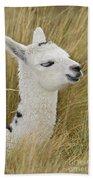 Young Alpaca Beach Towel