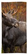 Young Bull Moose Beach Towel