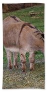 Young Donkey Eating Beach Towel