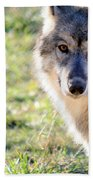 Young Gray Wolf In Light Beach Towel
