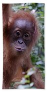 Young Orangutan Kiss Beach Towel