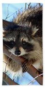 Young Raccoon In Birch Tree Beach Towel