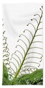 Young Spring Fronds Of Silver Tree Fern On White Beach Towel