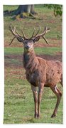 Young Stag Beach Towel