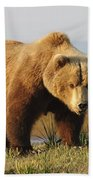A Brown Grizzly Bear Ursus Arctos Beach Towel