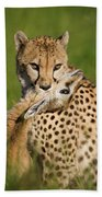 Cheetah Acinonyx Jubatus With Its Kill Beach Towel