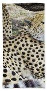 Cheetahs Resting Beach Towel