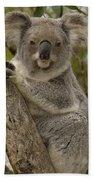Koala Phascolarctos Cinereus Portrait Beach Towel by Pete Oxford