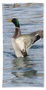 Mallard Duck Showing Off Beach Towel