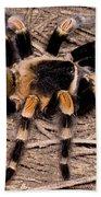 Mexican Red-legged Tarantula Beach Towel