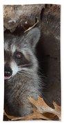 Raccoon Procyon Lotor Beach Towel