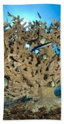 Reticulate Humbugs Gather Under Stone Beach Towel