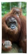 Sumatran Orangutan Pongo Abelii Mother Beach Towel