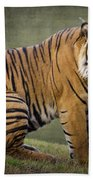 The Sumatran Tiger  Beach Towel