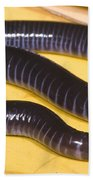 West African Caecilian Beach Towel