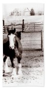 1900  Clydesdale Horse Beach Towel