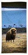 Muskox Ovibos Moschatusin The Northwest Beach Towel